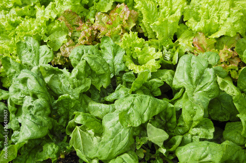 Garden of Spinach and Leaf Lettuce Plants
