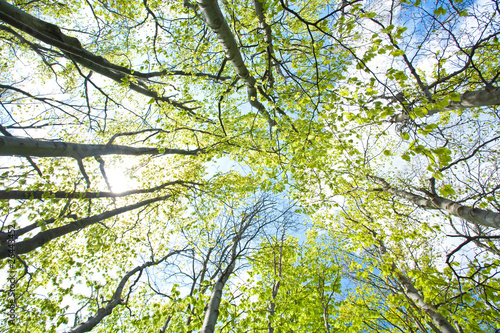 Tuinposter Aan het plafond beech trees upward the sky