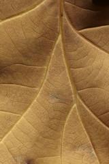 close-up of brown autumnal oak leaf