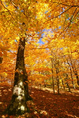 autumn forest with gold colors