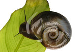 Great ramshorn, isolated