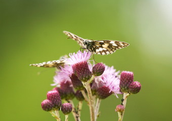 butterflys on pink flowers close up