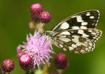 white black butterfly on pink flowers close up