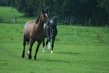 Trabende Pferde