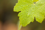 Lustrous Green Grape Leaf with Water Drops poster