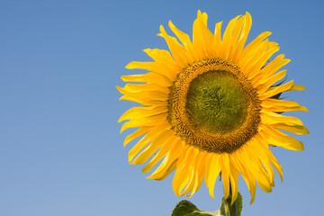 Single sunflower against clear blue sky