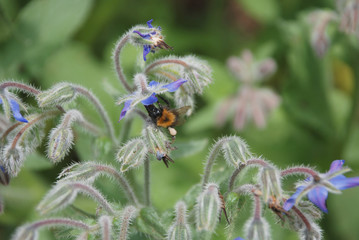 Bee With Pollen Sack on Borage Flowers