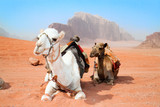 Fototapety Camels take a rest in Wadi Rum red desert