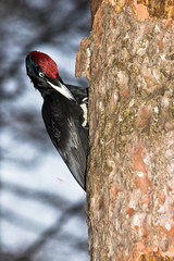Dryocopus martius, Black Woodpecker