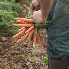 agriculteur faisant bottes de carottes bio à la ferme