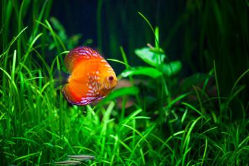 oranger fisch