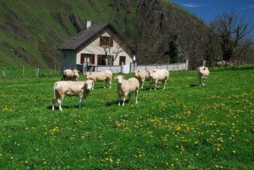 Meadows and cows of Soule in spring time