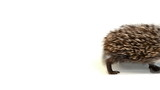 Young hedgehog waddle from left to right side of screen