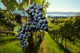ripe Purple Grapes - 26496881