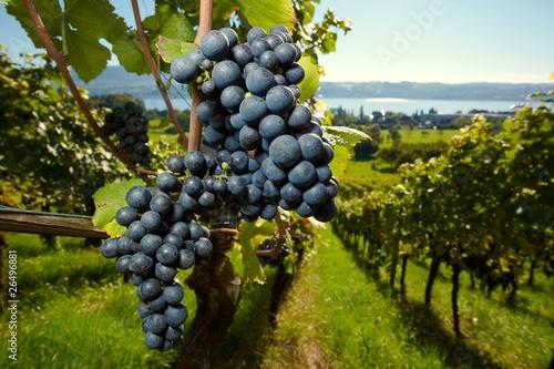 Plagát, Obraz ripe Purple Grapes