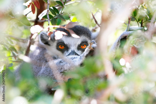 close up of lemur looking through leaves