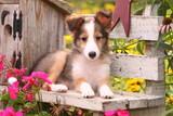 Shetland Sheepdog on Garden Bench poster