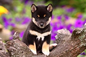 Shiba Inu Sitting on a Log in Front of Flowers