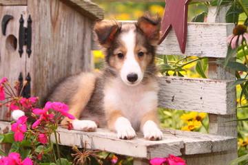 Shetland Sheepdog on Garden Bench