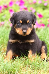 Rottweiler Puppy Sitting in Grass