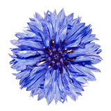 Single Blue Cornflower - Centaurea cyanus Isolated on White