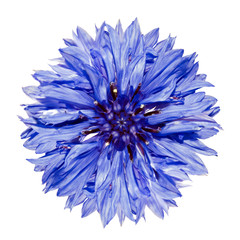 Single Blue Cornflower - Centaurea cyanus Isolated on White