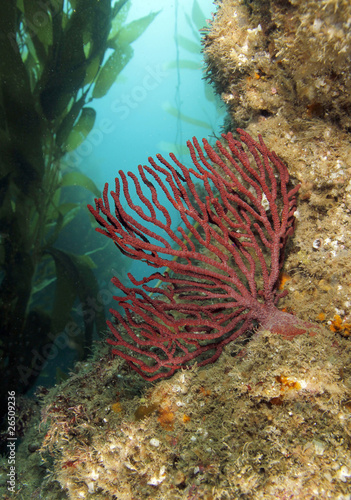 red soft coral in underwater kelp forest Anacapa island, Califor