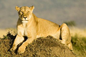 Lioness in Kenya's Maasai Mara