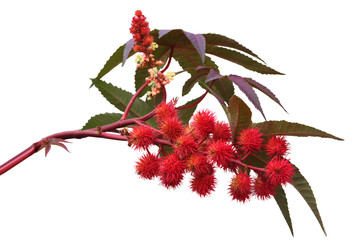 Red Castor Oil Plant