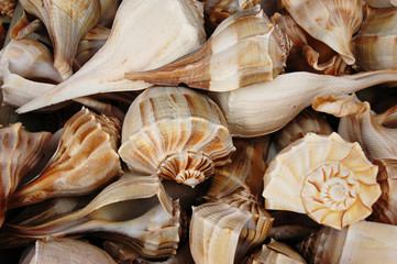 Lightning whelk shells (Busycon perversum)
