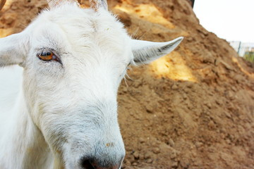 She-goat portrait