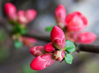 Spring magnolia tree blossom close-up
