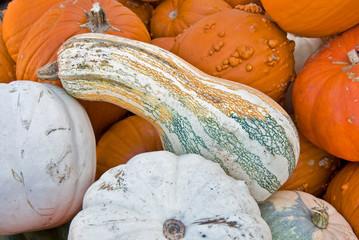 giant gourd