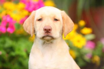 Yellow Labrador Retriever Head and Shoulders