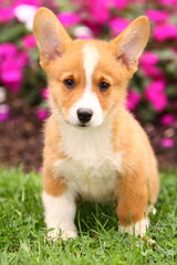 Welsh Corgi Sitting in Grass