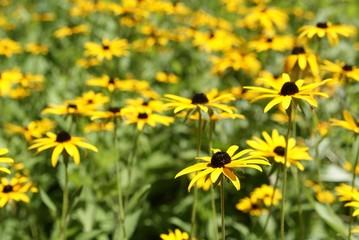 Yellow daisies in garden