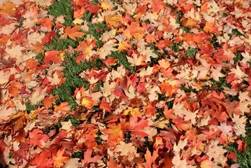 Fall maple leaves on ground