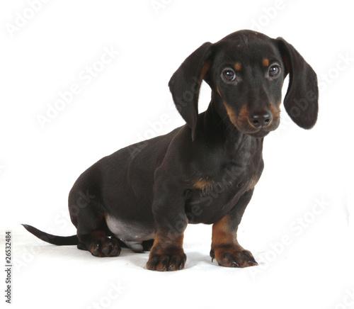 Cane bassotto cucciolo di 60 giorni di dvr foto stock for Bassotto cane
