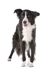 Black and white border collie dog standing
