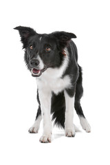 Black and white border collie dog isolated on a white background