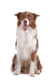 Brown and white border collie dog isolated on a white background