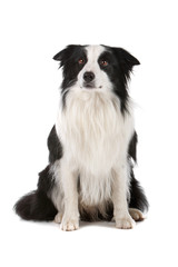 Front view of border collie dog sitting isolated on white