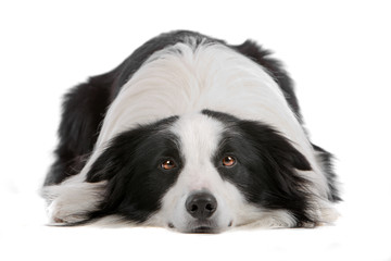Border collie dog lying, isolated on a white background
