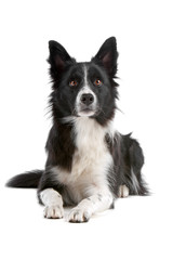 Black and white border collie dog  lying isolated on white