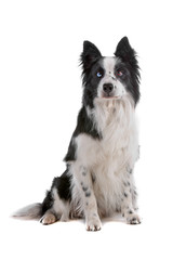 Bordercollie dog with different colour eyes, sitting