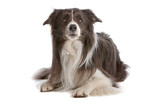 Two-color border collie dog lying and looking up