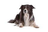 Two-color border collie dog lying, isolated on white