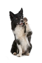 Border collie dog with a paw raised, isolated on white