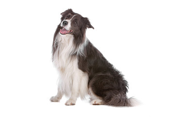 Side view of border collie dog isolated on white