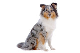 Shetland Sheepdog, Sheltie dog sitting, isolated on white poster